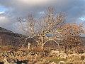 Quercus pyrenaica 20131228 c.jpg