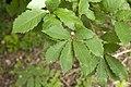 Quercus serrata 04.jpg