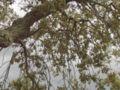 Quercus suber..Alentejo03.JPG