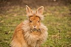 Rabbit - Lionhead breed.jpg