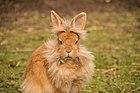 Conejo - Lionhead breed.jpg