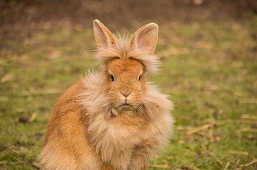 Rabbit - Lionhead breed