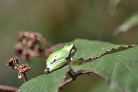 Raganella italiana (Hyla intermedia) - Italian tree frog, Milano, Italia, 09.2018 (4).jpg