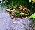 Rana porosa porosa001.jpg