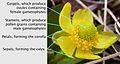 Ranunculus glaberrimus labelled.jpg
