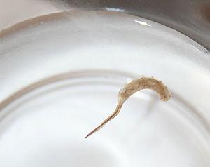 Rat-tailed maggot