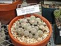 Rebutia heliosa - University of California Botanical Garden - DSC08865.JPG