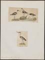 Recurvirostra avocetta - 1700-1880 - Print - Iconographia Zoologica - Special Collections University of Amsterdam - UBA01 IZ17400165.tif