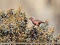 Red-Mantled Rosefinch (Carpodacus rhodochlamys) (24263212448).jpg