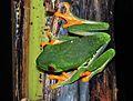 Red-eyed Leaf Frog (Agalychnis callidryas) (9362143274).jpg
