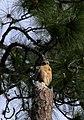 Red-shouldered Hawk - Hillsborough River State Park.jpg