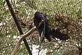 Red-tailed black cockatoo - Melbourne Zoo.jpg