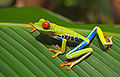 Red eyed tree frog edit3.jpg
