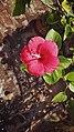 Red hibiscus by Sankar.jpg