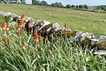 Red hot pokers near Rothley - geograph.org.uk - 872926.jpg