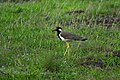 Red wettled lapwing.jpg