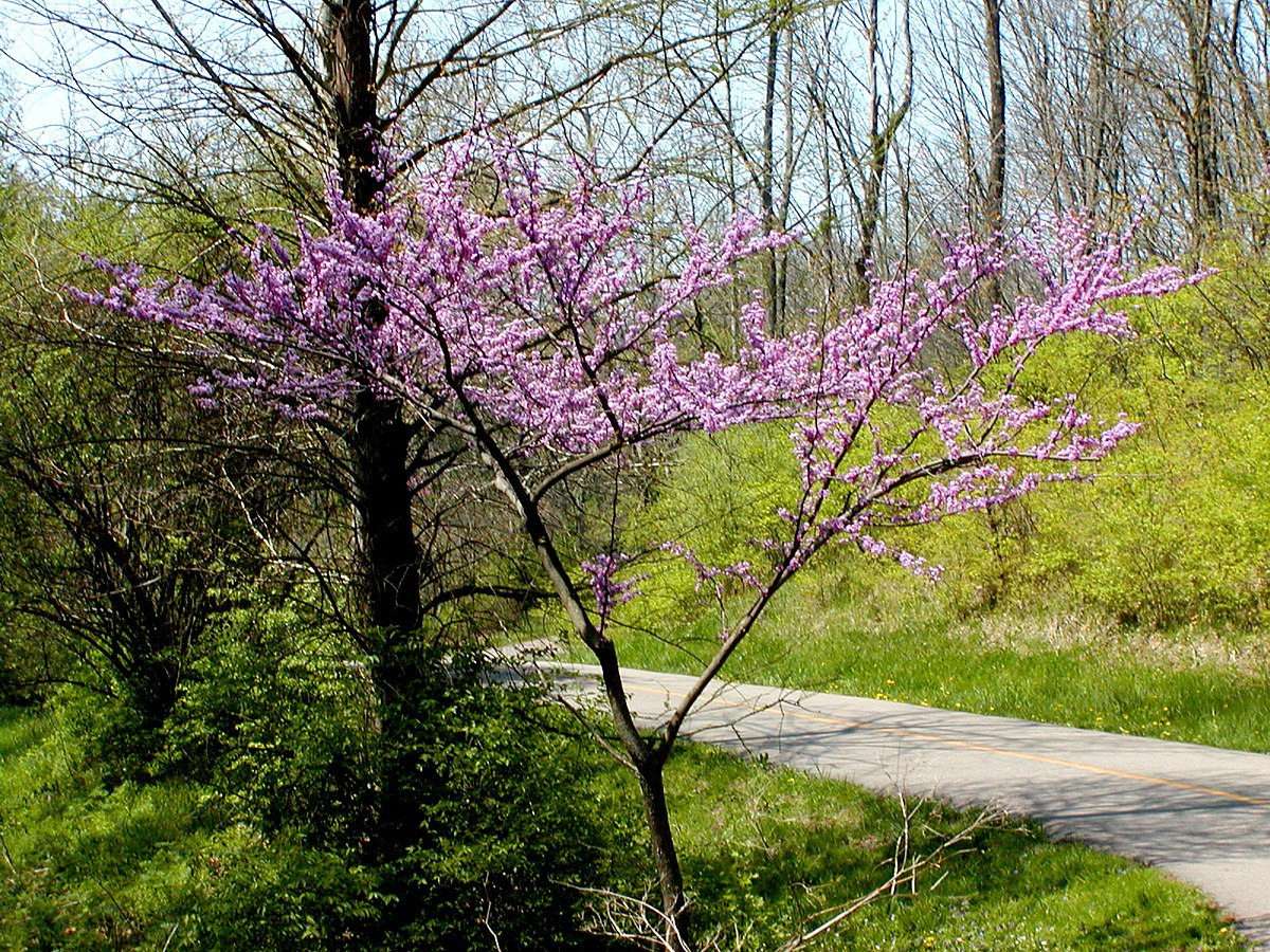Cercis Canadensis Wikipedia