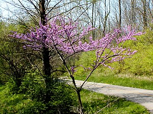 Cercis canadensis - Eastern redbud near Cincinnati, Ohio