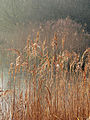 Reeds and Pond - geograph.org.uk - 1249653.jpg