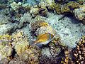 Rhinecanthus assasi - Rotmeer-Picassodrueckerfisch 0974.jpg