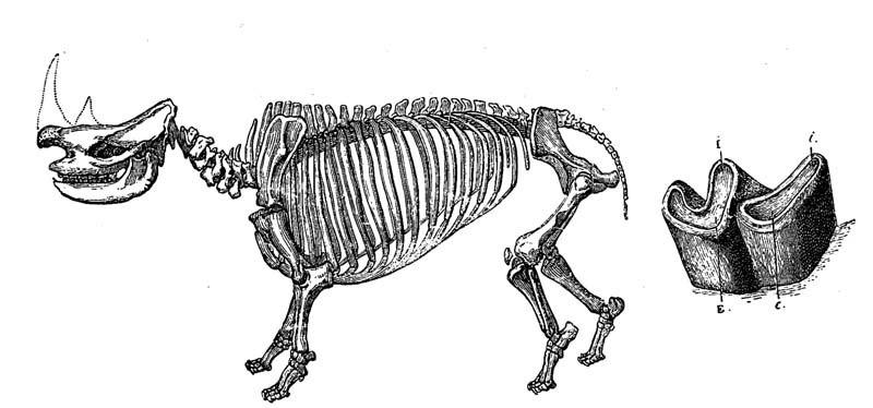Rhinoceros pachygnatus