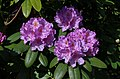 Rhododendron 3030.jpg