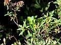 Rhododendron greenlandicum c (16161828087).jpg