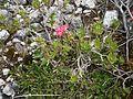 Rhododendron hirsutum RHu 01.JPG