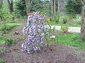 Rhododendron impeditum1.jpg
