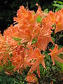 Rhododendron sp. 103.jpg