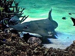 Rhynchobatus syndey aquarium.jpg