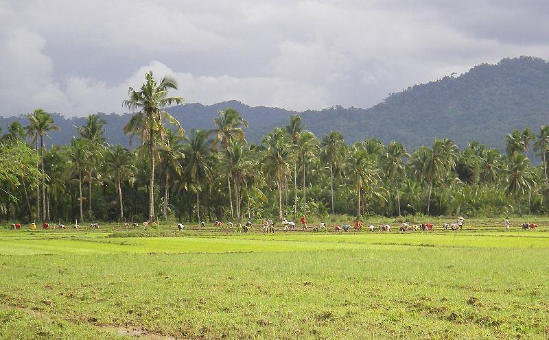 Datei:Rice-Production-in-Bunga.jpg