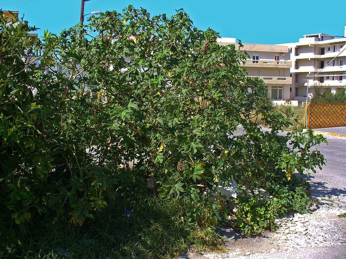 Garden Bush: Valued Image Set: Ricinus Communis (Castor Oil Plant