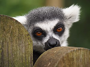"Whipsnade Zoo - A resident of ""In with the Lemurs"", an attraction at the zoo ."