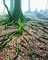 Root ریشه های خزه بسته یک درخت جنگلی در نمک آبرود مازندران.jpg