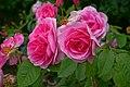 Rosa 'Gertrude Jekyll' at Ishida Rose Garden in Odate, Akita, Japan.jpg