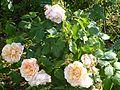 Rosa 'Mme Paule Massad' (Maslupo) in Jardin des plantes of Paris 01.jpg