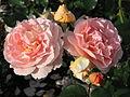 Rosa 'Sangerhauser Jubilaumsrose' 02.JPG