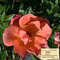 Rosa FEifut. 02.jpg