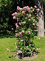 Rosa Ida Klemm shrub.jpg