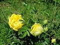 Rosa Persian Yellow 2019-06-03 4577.jpg