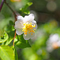 Rosa onoei var. hakonensis (17425889902).jpg