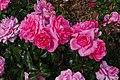 Rosarium Baden Rosa 'Berleburg' Poulsen 1996 01.jpg