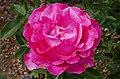 Rosarium Baden Rosa 'Caprice de Meilland' Meilland 1999 04.jpg