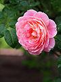 Rose, Claude Monet, バラ, クロード モネ, (15383241884).jpg