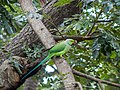 Rose-ringed parakeet (Male).jpg