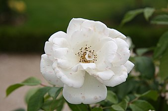 Rose Fee des Neiges 20070601 2.jpg