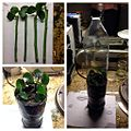 Rose cuttings with plastic bottle greenhouse.JPG