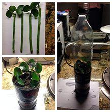 Plant propagation - Wikipedia