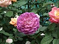Rose from Lalbagh flower show Aug 2013 8521.JPG